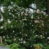 Rambling rose covering wall of Wheelchair friendly garden